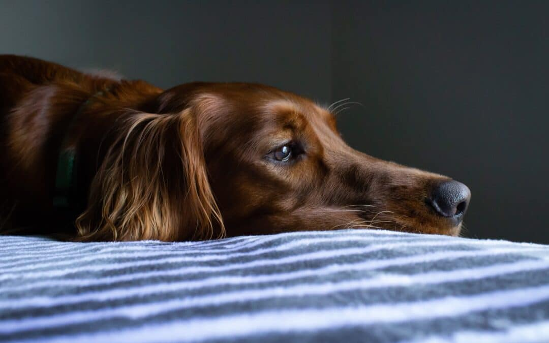 Why is my dog being sick? What you should do